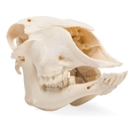 Real Domestic Sheep Skull, Male, Specimen - T300181M