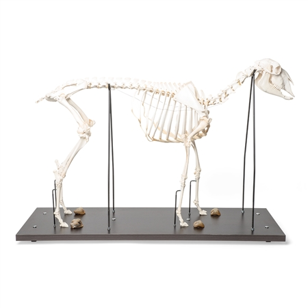 domestic sheep skeleton male specimen