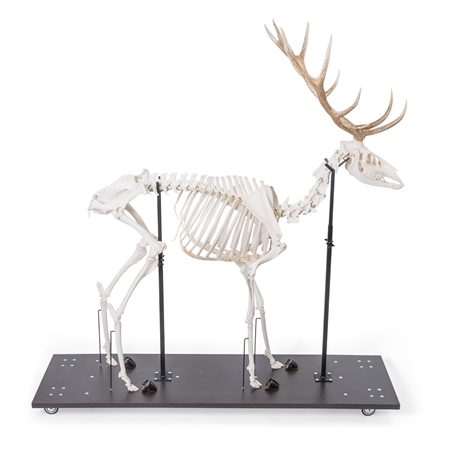 Real Red Deer Skeleton, Male, Articulated on Base