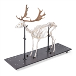 Real Fallow Deer Skeleton, Male, Articulated on Base