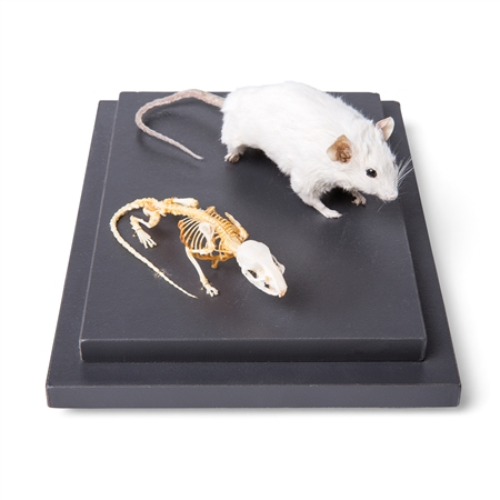 Mouse and Mouse Skeleton (Mus musculus) in Display Case, Specimens