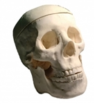Adult Human Skull Phantom for Calibration and Training