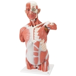 Life-size Muscle Torso Model, 27 Part - VA16