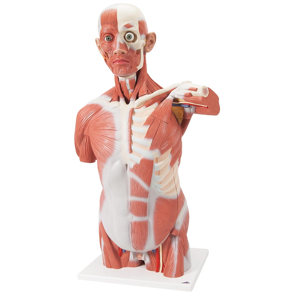 Life Size Muscle Torso Model 27 Part
