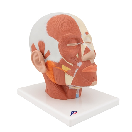 Head Model | Head model with musculature | Head Musculature Model | Head Musculature Model VB127