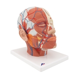 Head Musculature Model | Head Musculature With Blood Vessels | Head Musculature Model With Blood Vessels | Head Musculature Anatomy Model With Blood Vessels | 3B Scientific Head Musculature Model additionally with Blood Vessels VB128