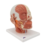 Head Musculature  Model With Nerves | Head Musculature Anatomy Model With Nerves | Head Musculature additionally with Nerves | 3B Scientific Head Musculature additionally with Nerves VB129 | Head Musculature Model with Nerves On Sale