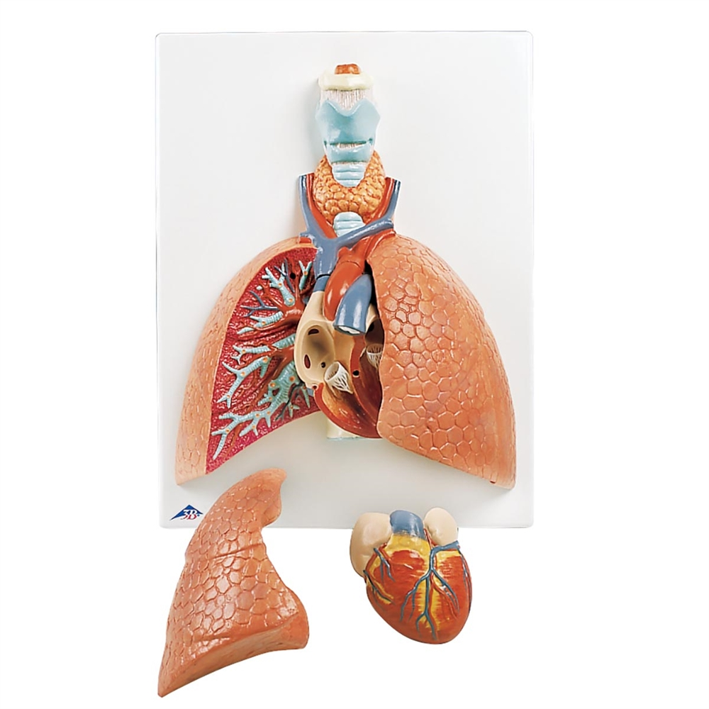 Lung Model With Larynx 5 Part