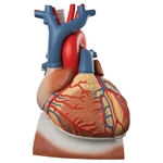 Heart Model on Diaphragm | Anatomical Heart Model on Diaphragm | Heart on Diaphragm, 3 times life size, 10 part | Anatomical Heart Model on Diaphragm, 3 times life-size, 10-part VD251 | Buy Heart Model on Diaphragm VD251 On Sale