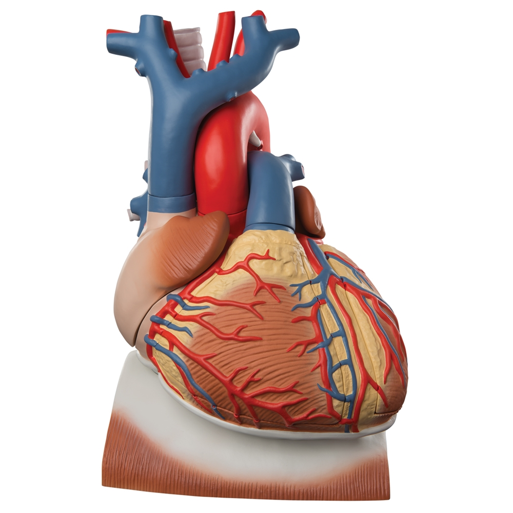 Giant Heart on Diaphragm, 3x life size, 10 part