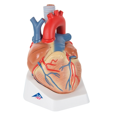 Heart Anatomy Model | 3B Scientific VD253 Human Adult Heart Model, 7-part
