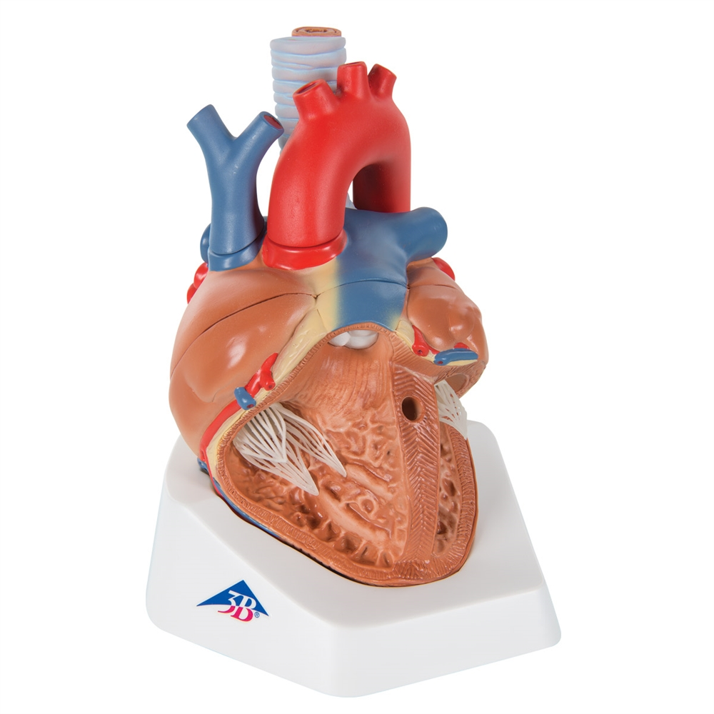 Heart Anatomy Model, 7-part