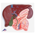 Anatomical  Liver with Gall Bladder, Pancreas and Duodenum Model VE315
