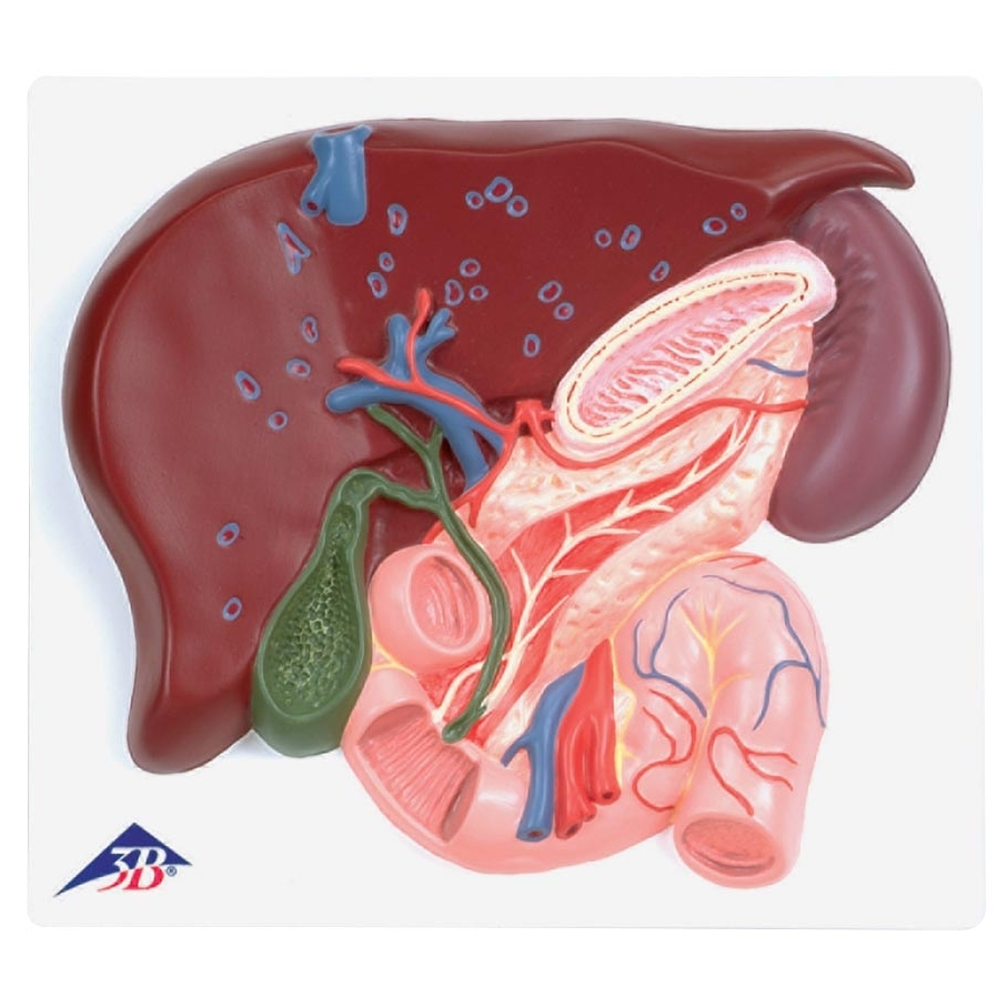 Liver Model With Gall Bladder Pancreas And Duodenum