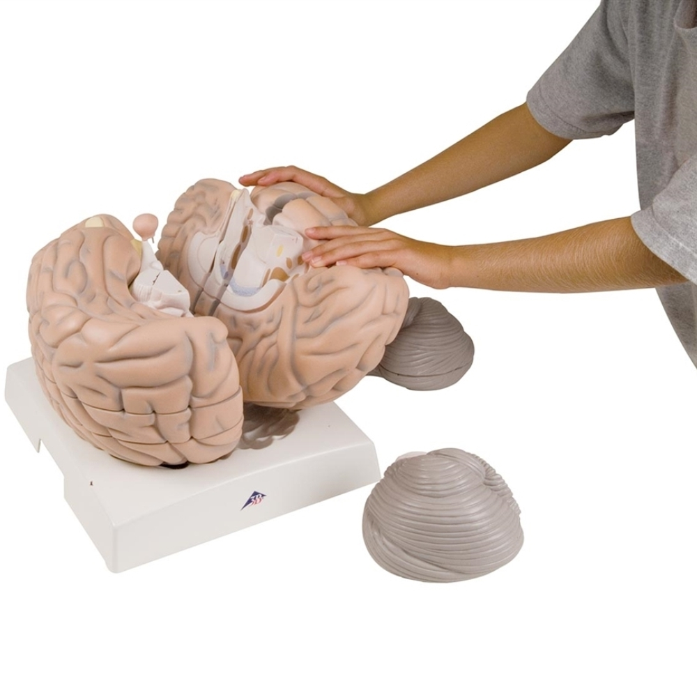 Giant Brain, 2.5x full-size, 14 part