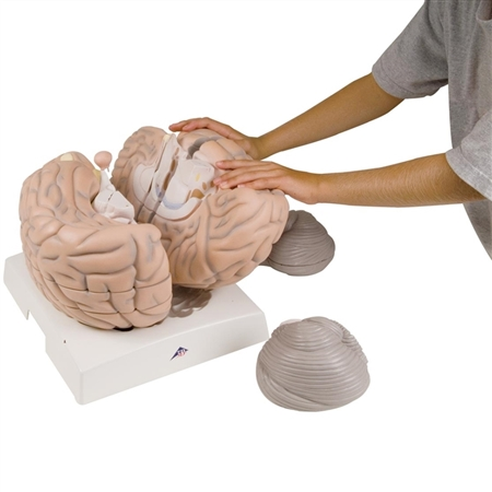 Giant Brain Model | Giant Brain Anatomy Model | Giant Human Brain Model |  | 3B Scientific VH409 Brain Model | Giant Brain Model, 2.5 times full-size | Giant Anatomical Brain Model VH409 | Buy 3B Scientific VH409 Giant Brain Model On Sale