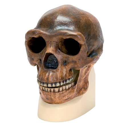 Anthropological Skull Model - Sinanthropus - On Sale VP750-1