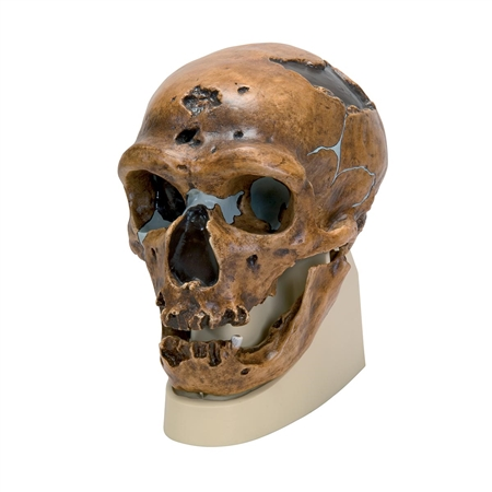 Anthropological Skull Model - La Chapelle-aux-Saints - On Sale VP751-1