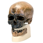 Anthropological Skull  Model - Crô-Magnon - On Sale VP752-1