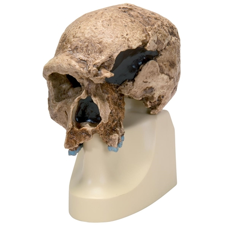 Anthropological Skull Model - Steinheim - On Sale VP753-1