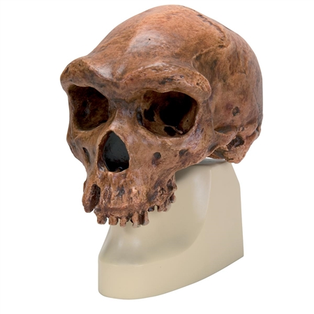 Anthropological Skull Model - Broken Hill or Kabwe -  On Sale VP754-1