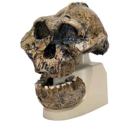 Anthropological Skull  Model - KNM-ER 406, Omo L. 7a-125 - On Sale - VP755-1