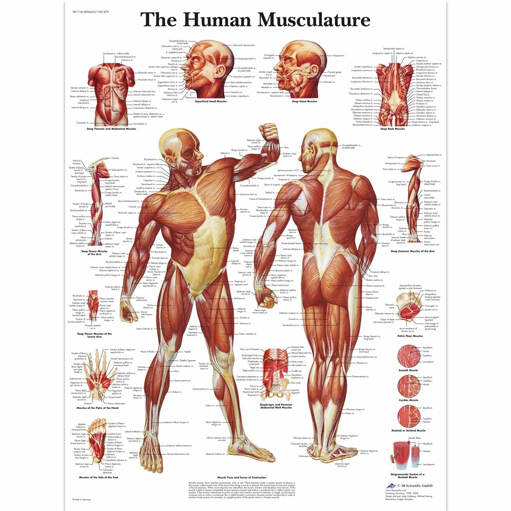 3b Human Muscle Chart