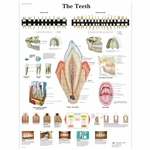The Teeth Chart VR1263L