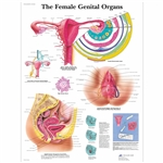 The Female Genital Organs Chart - Thickly Laminated
