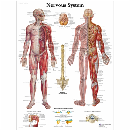 3B Scientific Nervous System Laminated Chart VR1620L