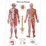 3B Scientific Nervous System Unmounted Chart VR1620UU