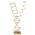 DNA - RNA - Double Helix and Splited Molecules