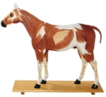 SOMSO Horse Model - 1/3 of the Natural Size - 14 Parts - Zo28