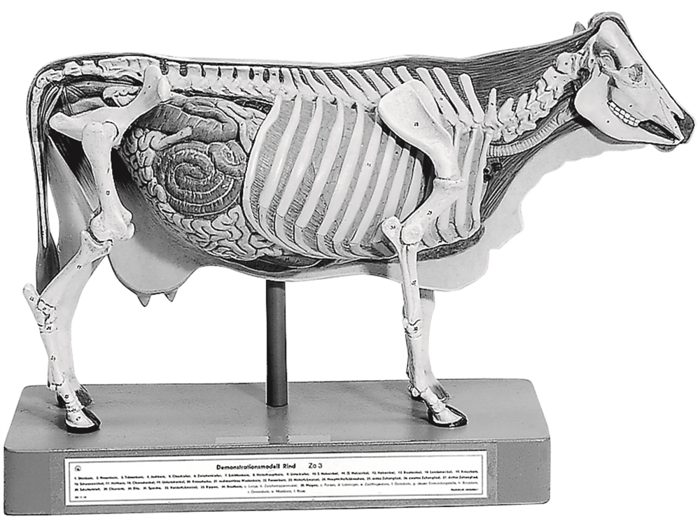 Somso Model Of Cow For Demonstration