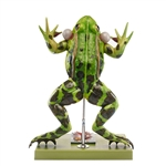 SOMSO ZoS 100-1 Water Frog Model