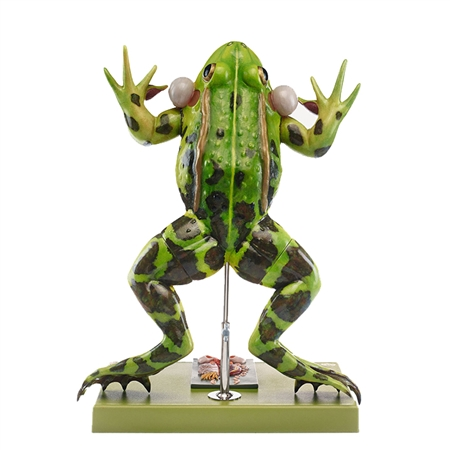 SOMSo ZoS 100-1 Water Frog Model - ZoS100-1