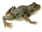 SOMSO Midwife Toad, Female