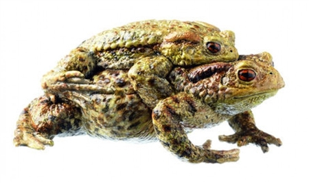 SOMSO Common Toad, Bufo bufo - pair in amplexus
