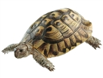 SOMSO Greek Tortoises, Male