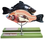 SOMSO Model of the Anatomy of a Bony Fish ZoS-105