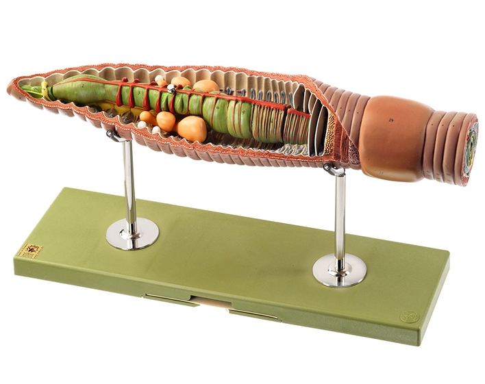 Somso Earthworm Model
