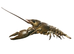Crayfish Model | Crawfish Model | crawdads Model |  Crayfish or Precious Crayfish | SOMSO Crayfish or Precious Crayfish | Global Technologies is an authorized dealer for the SOMSO Models, supplying the Zoology Models including the Precious Crayfish Model