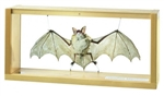 SOMSO male Bat Model | SOMSO Large Mouse-eared male Model | SOMSO Large Mouse-eared, male, Myotis myotis| SOMSO SOMSO Large Mouse-eared, male, Myotis myotis ZoS-1308 | SOMSO male Bat Model ZoS-1308