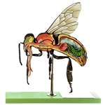 SOMSO Model of the Worker Bee