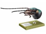 Head of Carabus Model |  Model of Carabus Head | Model of Head of Carabus | SOMSO Head of Carabus Model | SOMSO Head of Carabus Model On sale | SOMSO Head of Carabus Model ZoS-48 | SOMSO Model of Head of Carabus |  SOMSO Model of Carabus Head