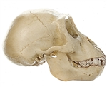 SOMSO Skull of Young Gorilla