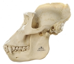 SOMSO Skull of Gorilla (male) - ZoS50