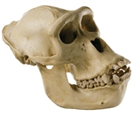 SOMSO Skull of Gorilla (female) - ZoS51