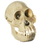 SOMSO Skull of Orang-Utan (Female) - ZoS52-1