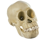 SOMSO Skull of a Young Chimpanzee